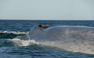 Dead blue whale washed up in Newfoundland could explode