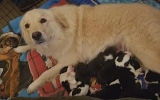 Dog that lost babies in fire gets eight orphaned puppies to care for