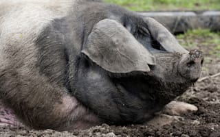 Pensioner attacked by pig 'as big as a bear' in Devon