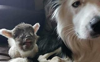 Sheepdog Blake is found - but without best friend Bella