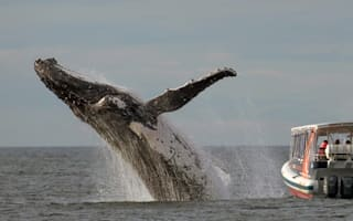 Humpback whale performs amazing breach - but tourists miss it