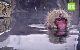 Snow monkeys bathe in hot springs in Japan