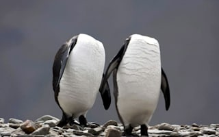 Don't lose your head! King penguins appear headless