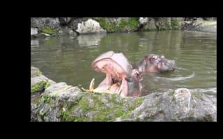 Tourists play real life 'Hungry Hippos'