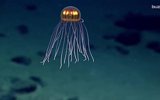 Newly discovered jellyfish looks like an alien