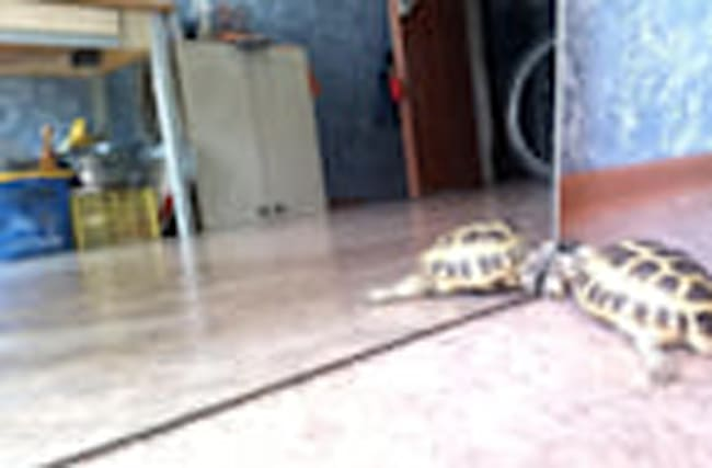Turtle attempts to make contact with mirror reflection