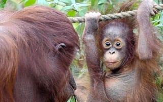 Pictures: Baby orangutan delighting visitors at Paignton Zoo