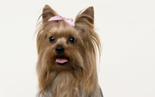 North Korea zoo unveils three Yorkshire terriers as newest residents