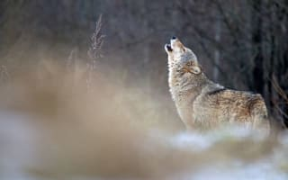 Wolf numbers boom in Europe as animals now 'at gates of Paris'