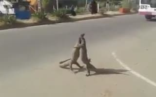 Huge lizards in epic battle on busy road (video)