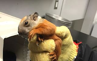 Baby squirrel hitchhikes on plane (cute picture)