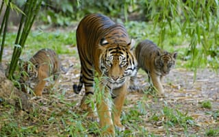 Elderly zookeeper mauled to death by tigers at closed-down Italian zoo