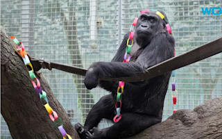 Oldest gorilla in the US celebrates her 60th birthday