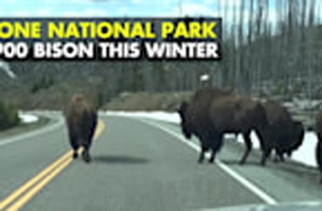 Yellowstone Considers Controversial Cull