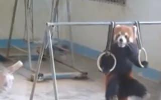 Video: Red panda shows tourists its gymnastic pull-up skills