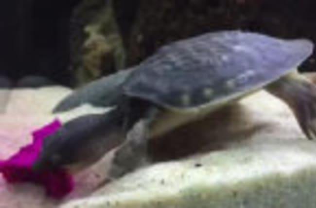 Rare baby turtle snacks on dragon fruit