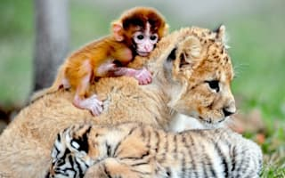 Heartmelting pic alert: Baby monkey, lion and tiger cuddle up at zoo
