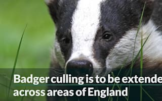 Badger cull to tackle bovine TB 'to be extended'