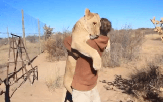 Lioness pounces on conservationist for huge cuddle