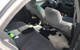 Police find two calves wedged into a Honda Civic