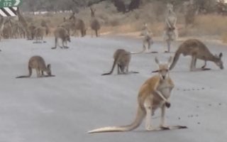 Motorist 'deliberately' hit and killed 17 kangaroos in Brisbane