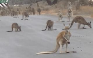 Motorist 'deliberately' hit and killed 17 kangaroos in Brisbane