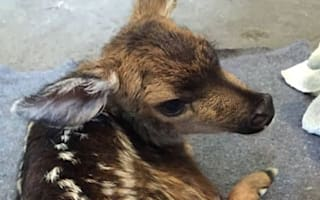 Tourist delivers fawn by caesarean after mum hit by truck