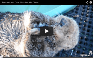 Video: Rescued blind otter loves his food