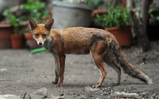 Petition to stop fox 'cull' in London