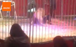 Lion mauls circus trainer in France
