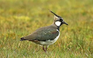 Endangered bird finds sanctuary in Northern Irish prison for dangerous inmates
