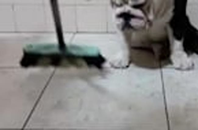 Rebellious bulldog refuses to move for broom