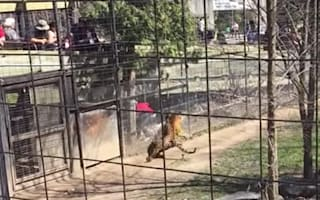 Woman jumps safety fence at zoo to retrieve hat from tiger pen