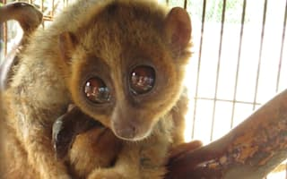 Abused slow loris flown to safety in the UK