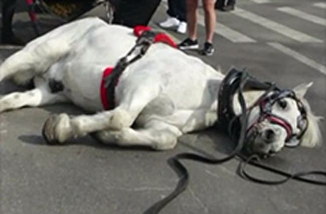 Outcry after Central Park carriage horse collapses