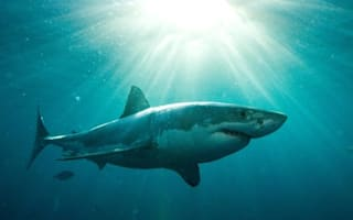 Video: Giant 13ft great white shark is largest ever tagged in Australia