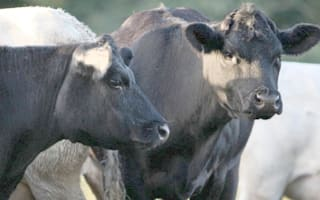 Panic as passenger train hits 'herd of cows on track'