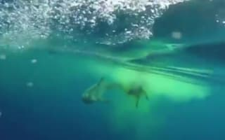 Shark eats cow in the middle of the Indian Ocean (bizarre video)