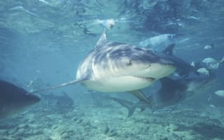 Woman attacked by three-metre bull shark in Tonga