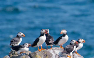 Hundreds of puffins wash up dead on UK coast after 'Big Freeze'