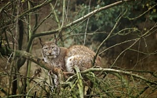 Pet lynx recovered in French Riviera