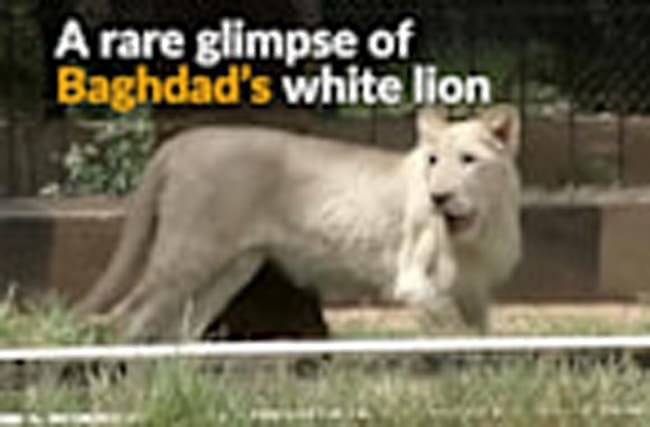 Rare white lion celebrates 1st birthday in Baghdad zoo