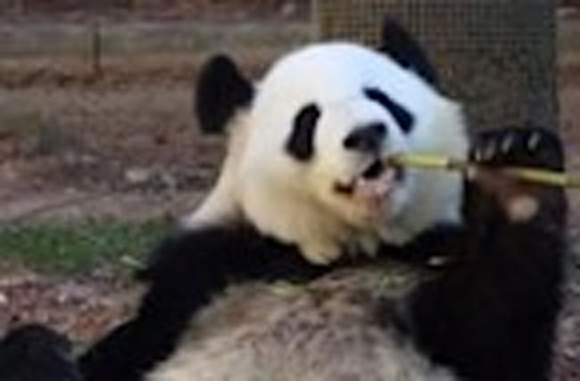 Mother of giant panda twins is pregnant again
