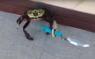 Knife-wielding crab protects itself from human (video)
