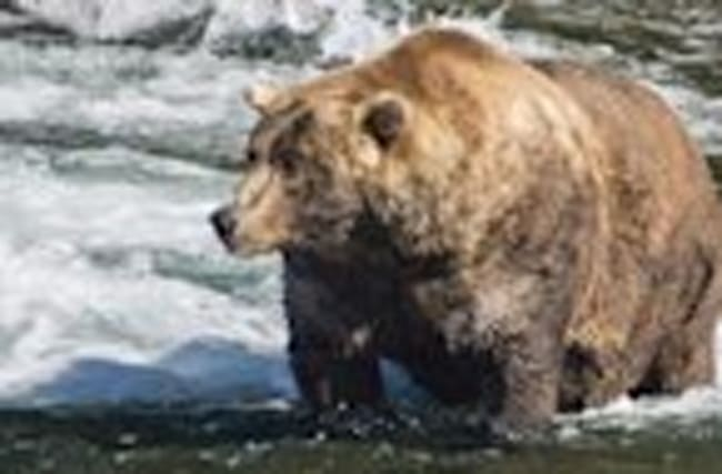 This Fat Bear Just Won a Contest for Being Enormous
