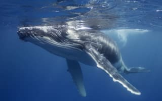 Baby whales 'whisper' to avoid predators