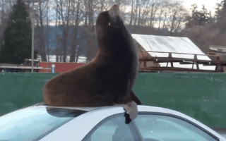 Watch the moment a sea lion gets comfortable on a car roof