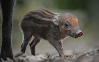 Rare warty pig eats its entire family at Bristol Zoo