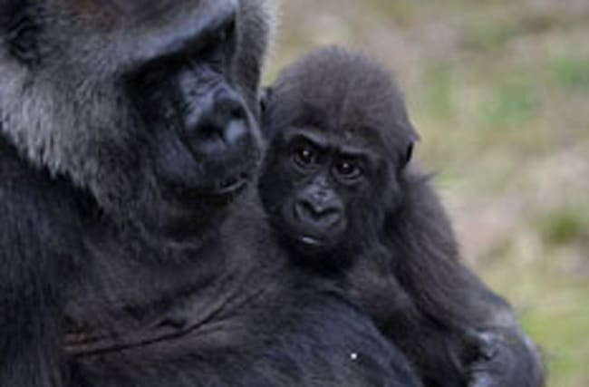 Bristol Zoo welcomes new baby gorilla to the fold