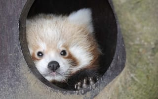 Whipsnade's baby red pandas emerge for the first time